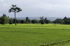 Reisfeld in Thailand Lizenzfreie Stockbilder