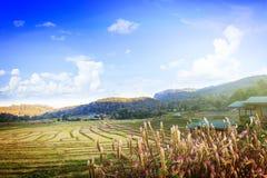 Reisfeld, Thailand Lizenzfreie Stockbilder
