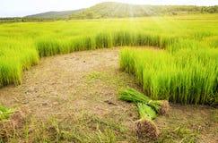 Reisfeld und -berg Stockfotos