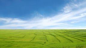 Reisfeld und blauer Himmel Stockfotografie
