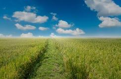 Reisfeld und blauer Himmel Lizenzfreie Stockfotografie