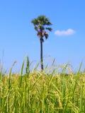 Reisfeld und blauer Himmel mit unscharfem Baumhintergrund Lizenzfreie Stockfotografie