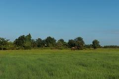 Reisfeld und bule Himmel Stockbild