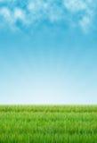 Reisfeld und Himmelhintergrund Stockfotos