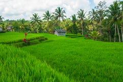 Reisfeld- und -kokosnußpalmen Stockfotos