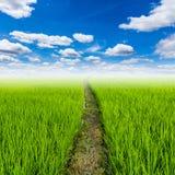Reisfeld und mit blauem Himmel der Wolken Lizenzfreie Stockfotos