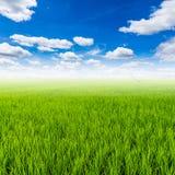Reisfeld und mit blauem Himmel der Wolken Lizenzfreies Stockbild