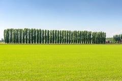 Reisfeld und -pappeln nahe Mortara (Italien) Lizenzfreies Stockfoto