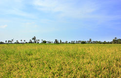 Reisfeld unter blauem Himmel Stockfotos