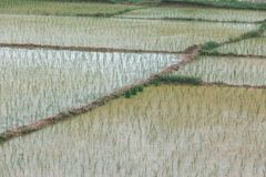 Reisfeld in Vietnam lizenzfreies stockfoto