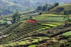 Reisfeld in Vietnam lizenzfreie stockfotos