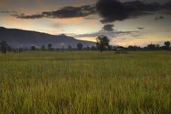 Reisfeld von Thailand Lizenzfreie Stockbilder