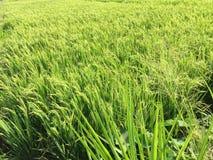 Reisfeld vor der Erntezeit lizenzfreies stockbild