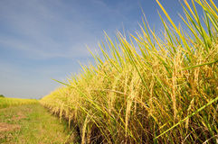 Reisfeld vor Ernte unter blauem Himmel Stockbilder