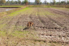 Reisfeld während der Dürre Lizenzfreies Stockbild