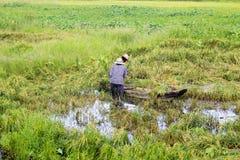 Reisfelder überschwemmt nach starkem Regen Stockfotos