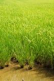 Reisfelder Stockfotos