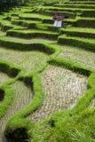 Reisfelder Lizenzfreie Stockfotos