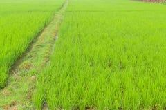 Reisfelder Stockbilder
