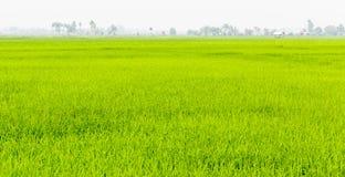 Reisfelder Stockfoto