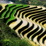 Reisfelder Lizenzfreies Stockfoto