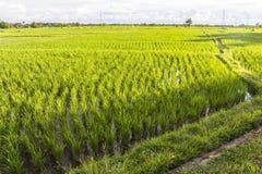Reisfelder am Abend auf Bali Stockfotografie