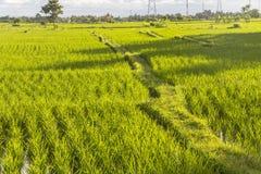 Reisfelder am Abend auf Bali Lizenzfreie Stockfotos