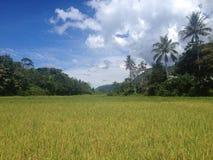 Reisfelder auf einer Insel im See Toba, Sumatra Lizenzfreie Stockfotografie