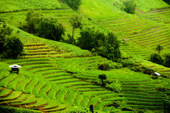 Reisfelder auf terassenförmig angelegtem Stockbild