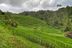 Reisfelder in Bali, Indonesien Stockbild