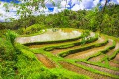 Reisfelder in Bali-Insel Lizenzfreies Stockbild