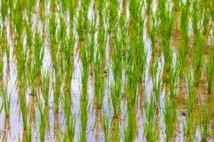 Reisfelder in Bali-Insel, Ubud, Indonesien Lizenzfreies Stockbild
