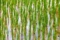 Reisfelder in Bali-Insel, Ubud, Indonesien Lizenzfreie Stockfotos