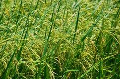 Reisfelder, Bauernhofpläne, in Thailand Lizenzfreies Stockfoto