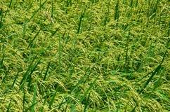 Reisfelder, Bauernhofpläne, in Thailand Stockbilder