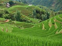 Reisfelder bereiten sich f?r Transplantation bei Nordwest-Vietnam vor lizenzfreie stockfotos