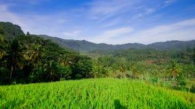 Reisfelder, Berge und blauer Himmel Stockfotografie