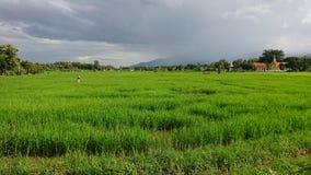 Reisfelder in Ching-MAI lizenzfreie stockfotografie