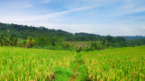 Reisfelder, die anfangen, Reis gelb zu färben, bald bereit in der Ernte Lizenzfreies Stockbild