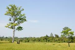 Reisfelder, Kambodscha Stockfotos