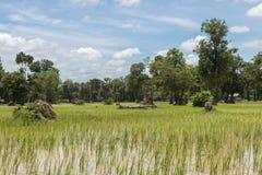 Reisfelder in Kambodscha Lizenzfreie Stockbilder
