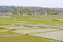 Reisfelder in Karnataka Lizenzfreies Stockbild