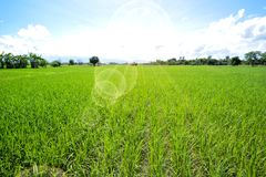 Reisfelder mit blauem Himmel Lizenzfreies Stockfoto