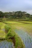 Reisfelder mit Verdammungen Stockfoto