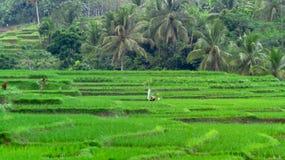 Reisfelder morgens Stockbild