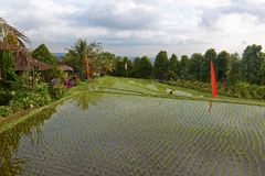 Reisfelder in Munduk in Bali Lizenzfreies Stockbild