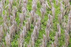 Reisfelder nach der Ernte Stockfoto