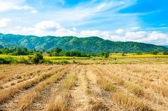 Reisfelder, nach geerntet Stockbilder