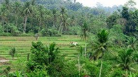 Reisfelder sind in der Ernte Stockbilder
