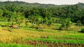 Reisfelder sind geerntet worden Lizenzfreies Stockfoto